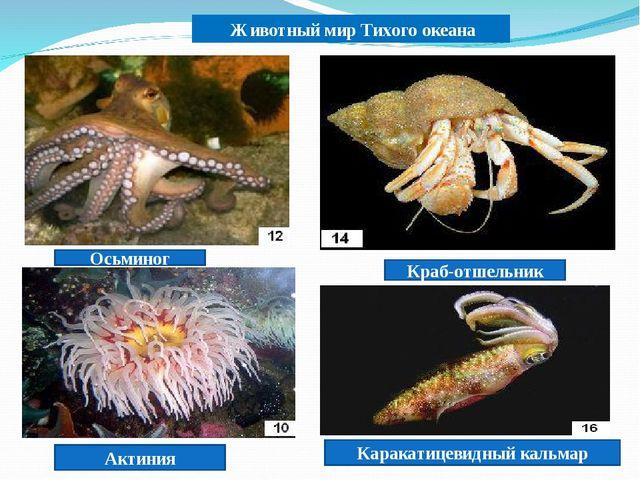Животный мир Тихого океана Осьминог Краб-отшельник Актиния Каракатицевидный...