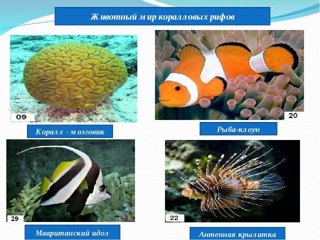 Животный мир коралловых рифов Коралл - мозговик Рыба-клоун Мавританский идол...