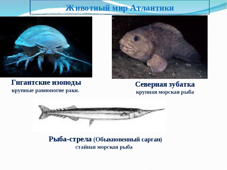 Животный мир Атлантики Гигантские изоподы крупные равноногие раки. Северная з...