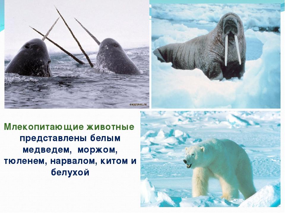 Млекопитающие животные представлены белым медведем, моржом, тюленем, нарвалом...