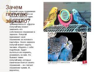 Зачем попугаю зеркало? Попугай очень подвижная и весёлая птица. Он не любит о