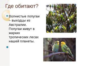 Где обитают? Волнистые попугаи – выходцы из Австралии. Попугаи живут в жарких