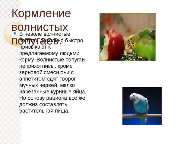 Кормление волнистых попугаев. В неволе волнистые попугаи довольно быстро прив...