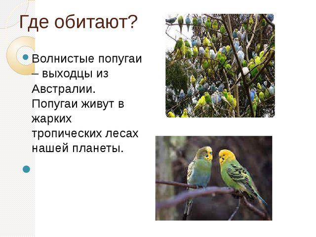 Где обитают? Волнистые попугаи – выходцы из Австралии. Попугаи живут в жарких...