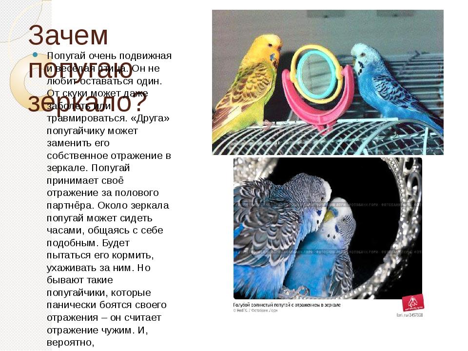Зачем попугаю зеркало? Попугай очень подвижная и весёлая птица. Он не любит о...