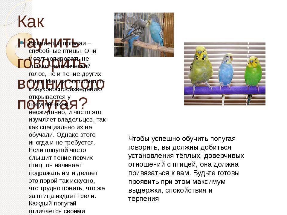Как научить говорить волнистого попугая? Волнистые попугаи – способные птицы....
