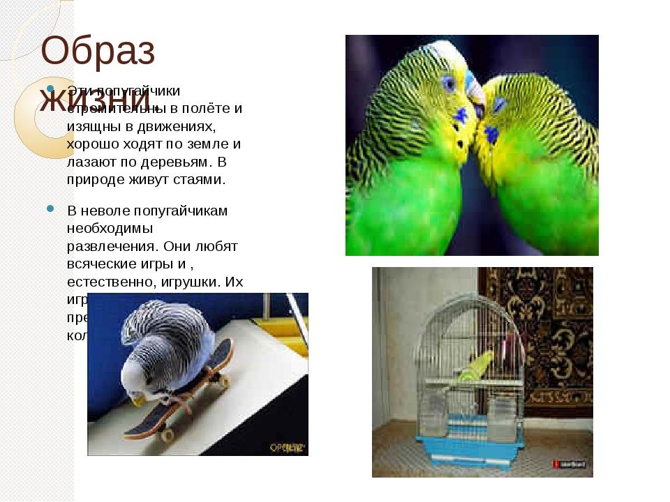 Образ жизни. Эти попугайчики стремительны в полёте и изящны в движениях, хоро...