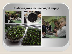Наблюдение за рассадой перца