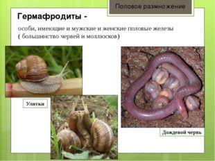 Гермафродиты - Половое размножение особи, имеющие и мужские и женские половы