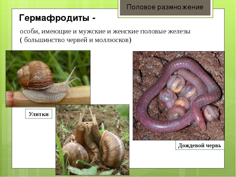 Гермафродиты - Половое размножение особи, имеющие и мужские и женские половы...