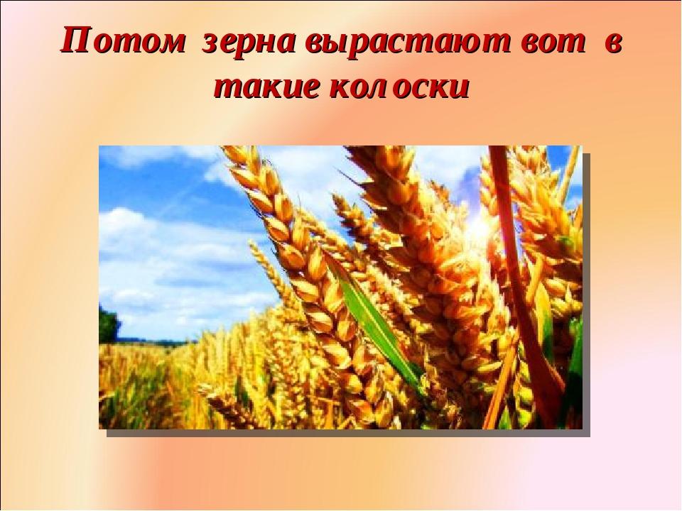 Потом зерна вырастают вот в такие колоски Фролова Ольга Ивановна д/с № 1687