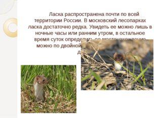 Ласка распространена почти по всей территории России. В московский лесопарка