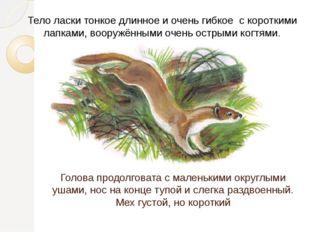 Голова продолговата с маленькими округлыми ушами, нос на конце тупой и слегка