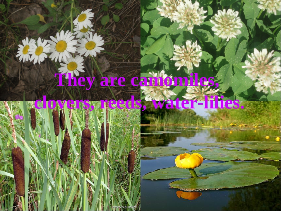They are camomiles, clovers, reeds, water-lilies.