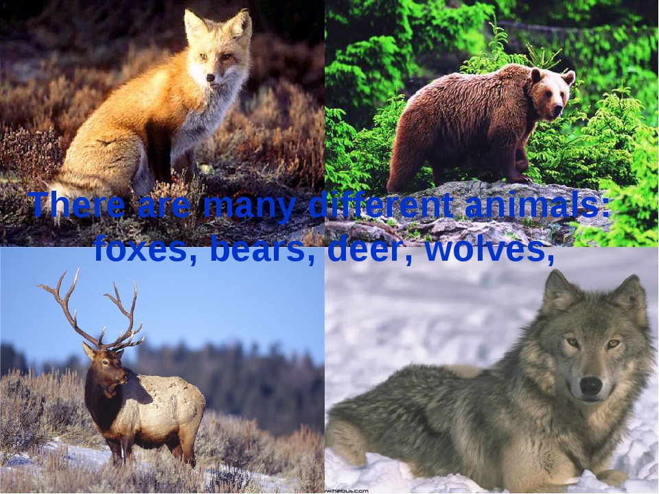 There are many different animals: foxes, bears, deer, wolves,