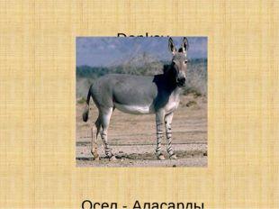 Donkey Осел - Аласарды
