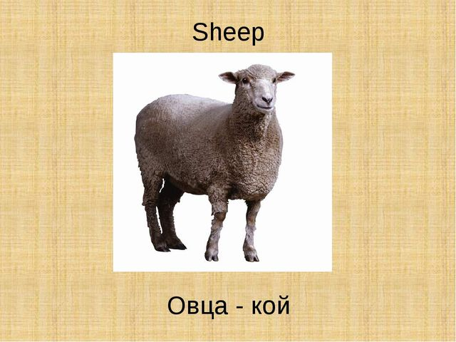 Sheep Овца - кой