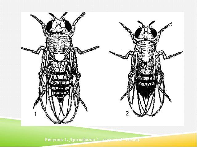 Рисунок 1. Дрозофила: 1 - самка: 2 - самец.