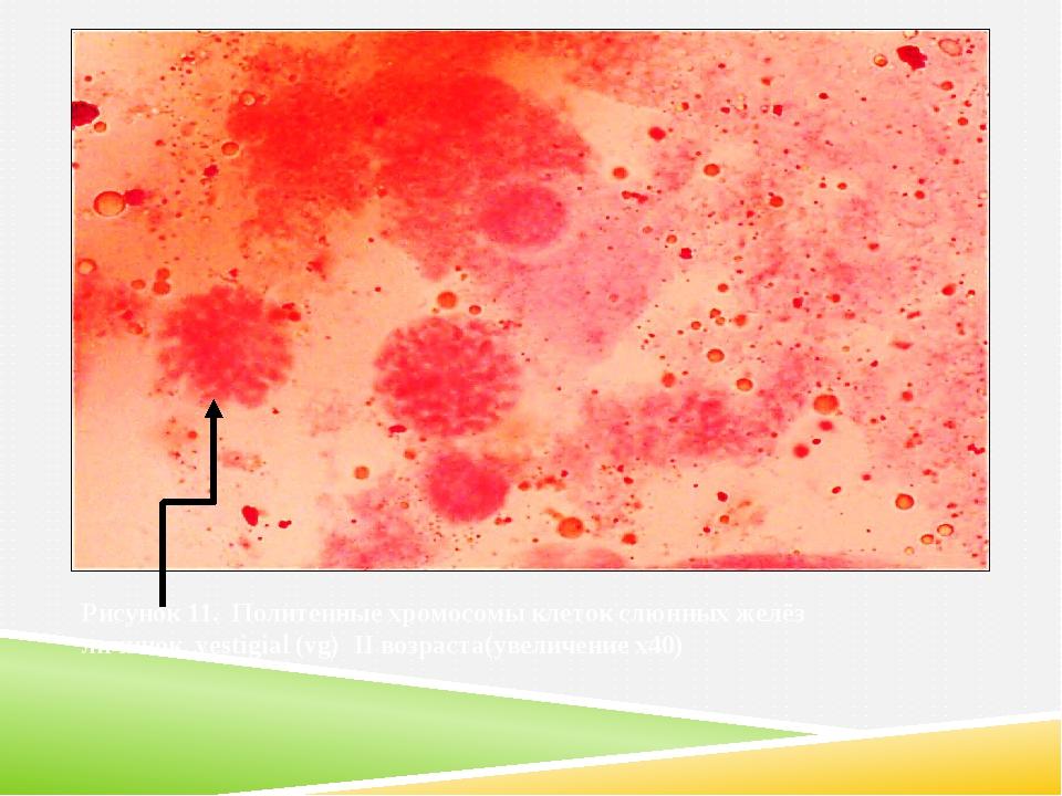 Рисунок 11. Политенные хромосомы клеток слюнных желёз личинок vestigial (vg)...