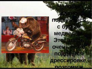 Человек давно подружился с бурым медведем. Этот зверь очень легко поддаётся д