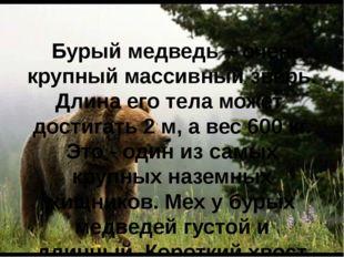 Бурый медведь – очень крупный массивный зверь. Длина его тела может достигат