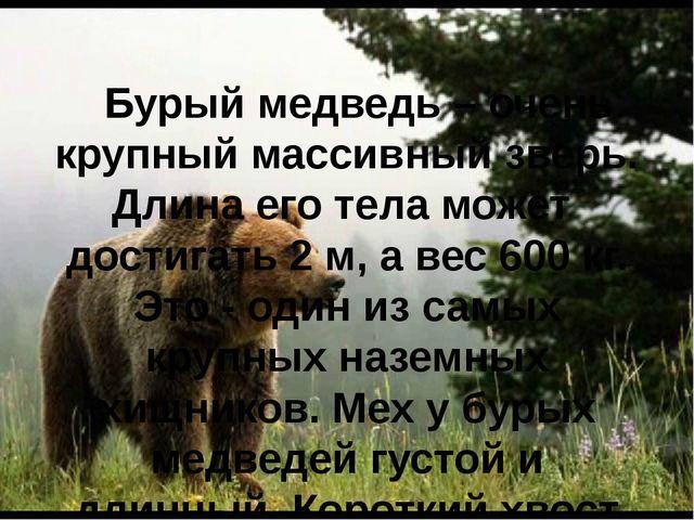 Бурый медведь – очень крупный массивный зверь. Длина его тела может достигат...