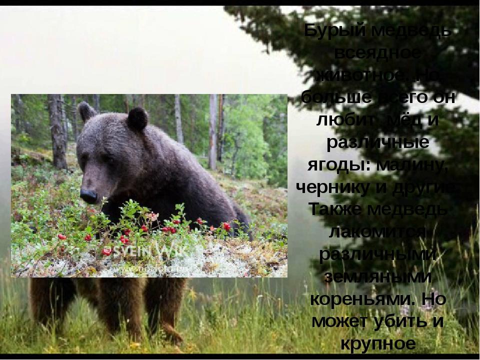 Бурый медведь всеядное животное. Но больше всего он любит мёд и различные яго...