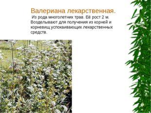 Валериана лекарственная. Из рода многолетних трав. Её рост 2 м. Возделывают д