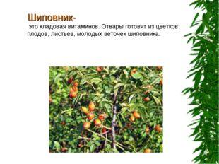 Шиповник- это кладовая витаминов. Отвары готовят из цветков, плодов, листьев,