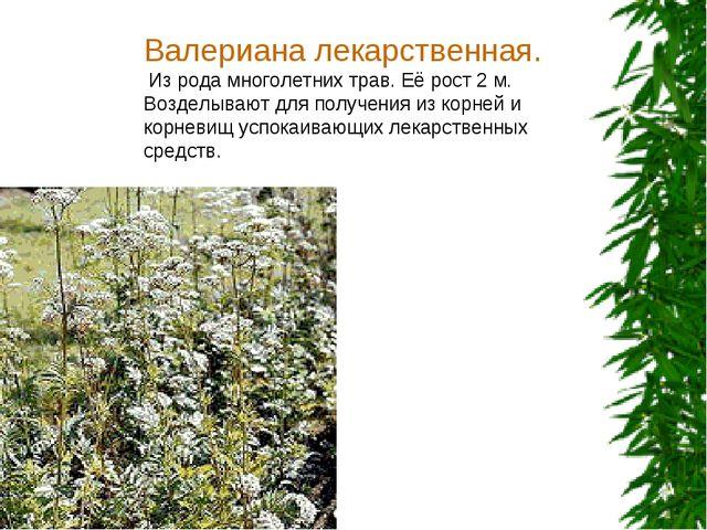 Валериана лекарственная. Из рода многолетних трав. Её рост 2 м. Возделывают д...