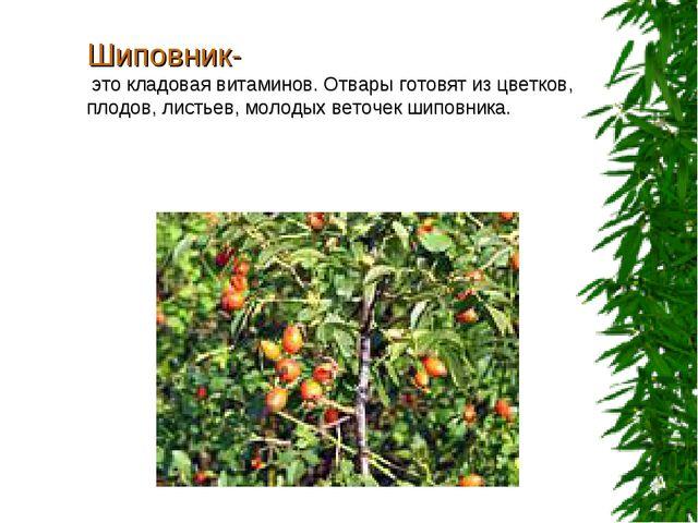 Шиповник- это кладовая витаминов. Отвары готовят из цветков, плодов, листьев,...