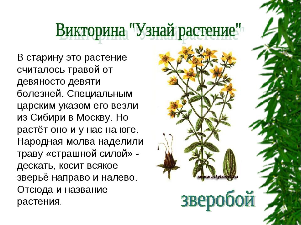 В старину это растение считалось травой от девяносто девяти болезней. Специал...