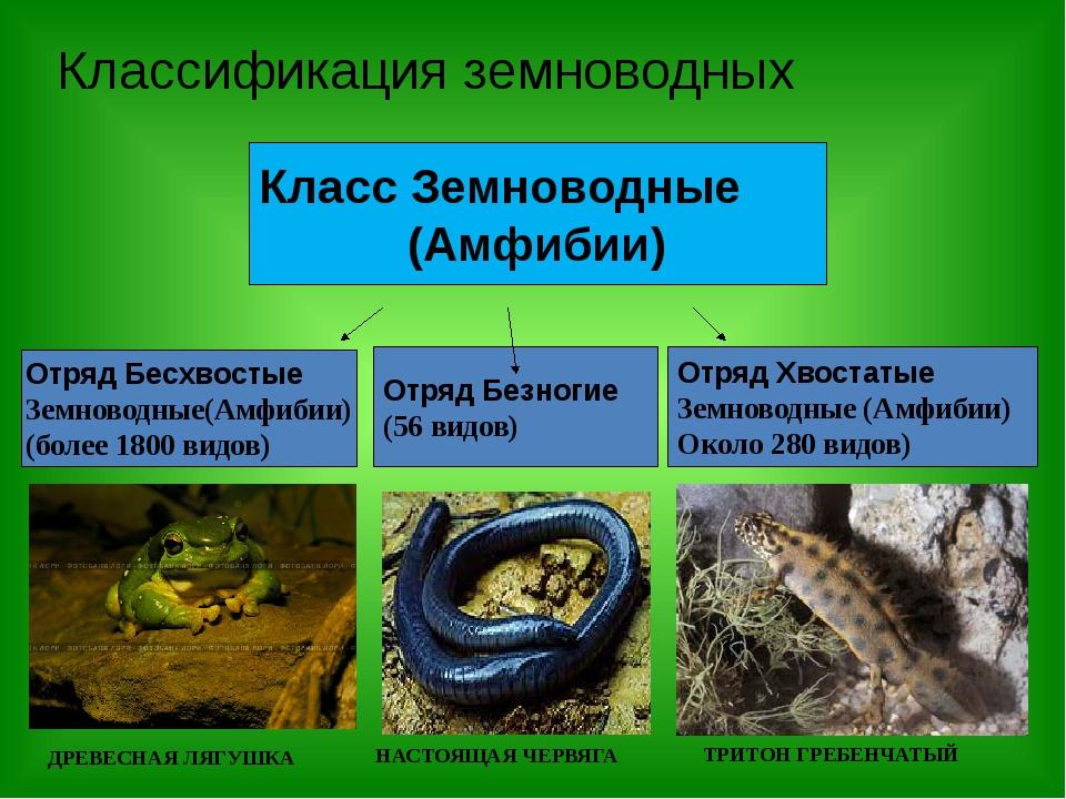 Классификация земноводных Класс Земноводные (Амфибии) Отряд Бесхвостые Земнов...