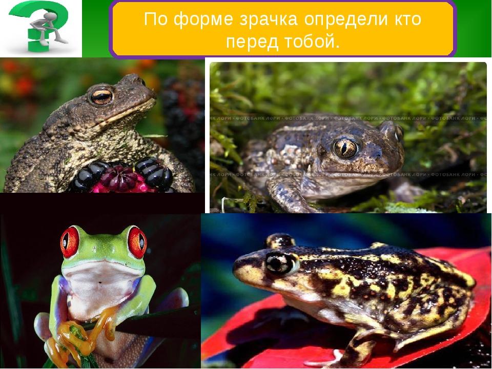 По форме зрачка определи кто перед тобой. У лягушек зрачок круглый, у жаб – г...