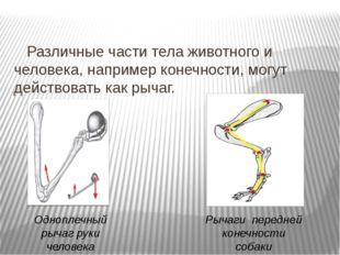 Различные части тела животного и человека, например конечности, могут действ