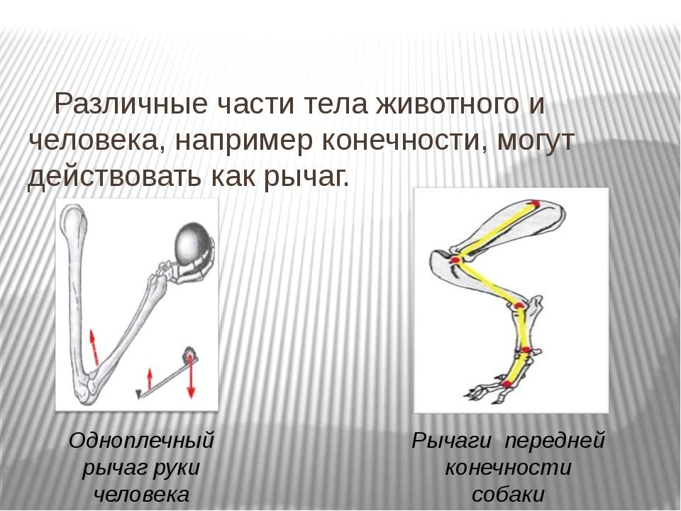 Различные части тела животного и человека, например конечности, могут действ...