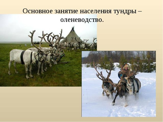 Основное занятие населения тундры – оленеводство.