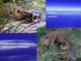 Бобры давно облюбовали берега реки Полонуха. Стали привычны взгляду бобровые