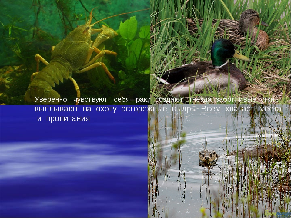 Уверенно чувствуют себя раки ,создают гнезда заботливые утки , выплывают на о...