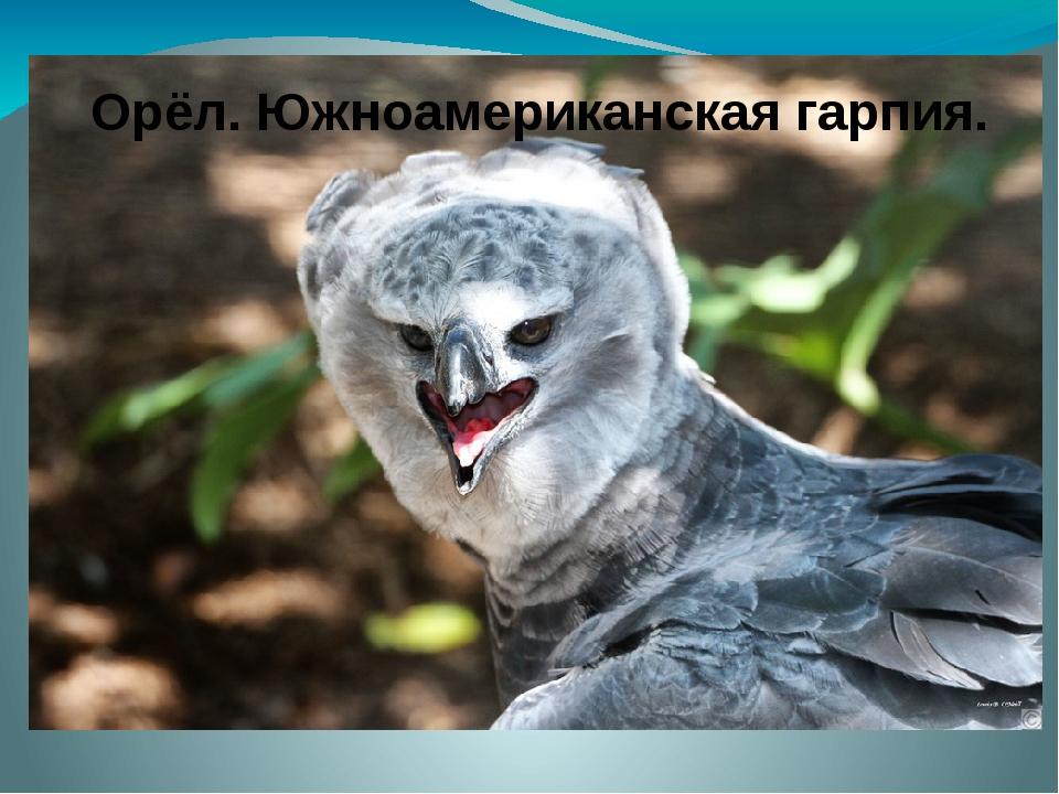 Орёл. Южноамериканская гарпия.
