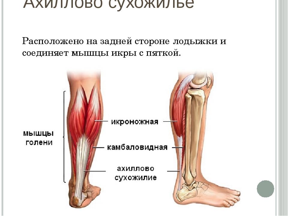 Ахиллово сухожилье Расположено на задней стороне лодыжки и соединяет мышцы ик...
