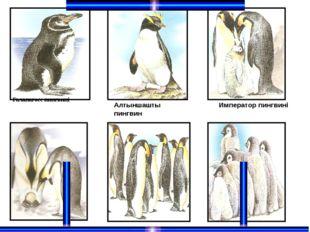Галапагосс пингвині Алтыншашты пингвин Император пингвині