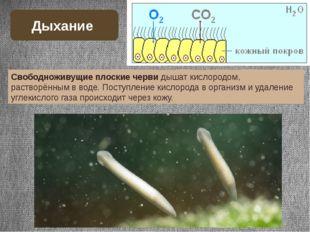 Свободноживущие плоские черви дышат кислородом, растворённым в воде. Поступле