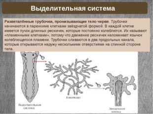 Разветвлённые трубочки, пронизывающие тело червя. Трубочки начинаются в парен