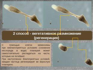 С помощью клеток мезенхимы при неблагоприятных условиях (снижение кислорода в