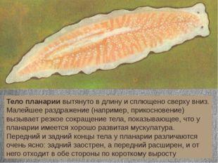 Тело планарии вытянуто в длину и сплющено сверху вниз. Малейшее раздражение (