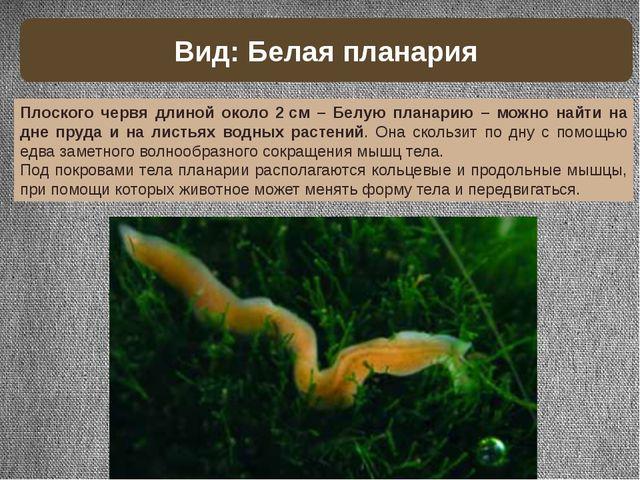 Плоского червя длиной около 2см – Белую планарию – можно найти на дне пруда...