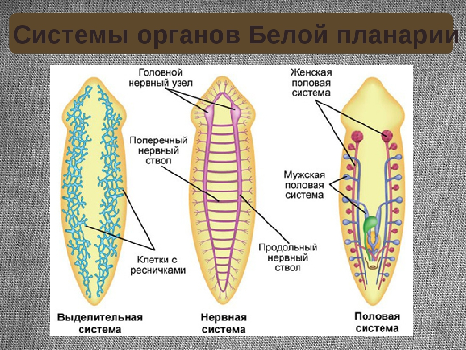 Системы органов Белой планарии