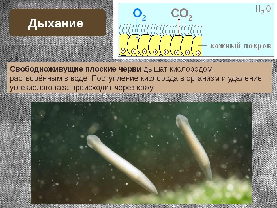 Свободноживущие плоские черви дышат кислородом, растворённым в воде. Поступле...