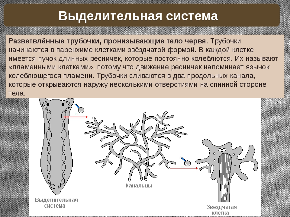 Разветвлённые трубочки, пронизывающие тело червя. Трубочки начинаются в парен...